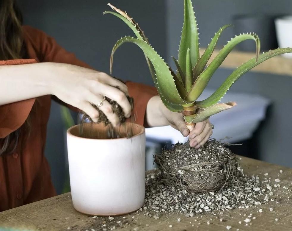 Пересадка растения в новый горшок