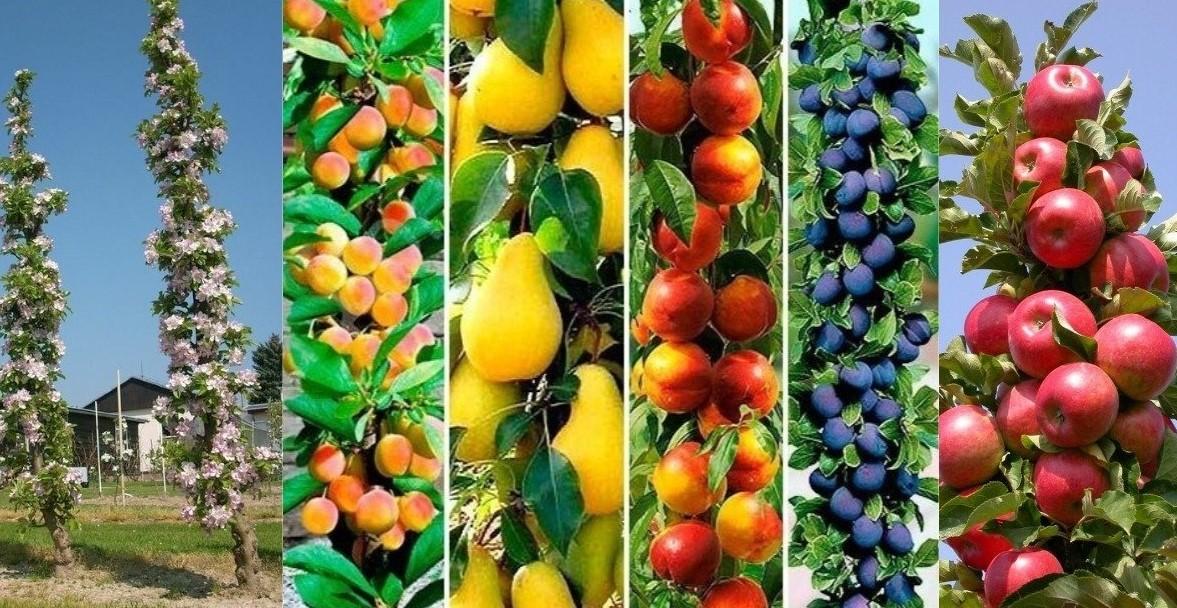 Выбор колоновидных плодовых деревьев